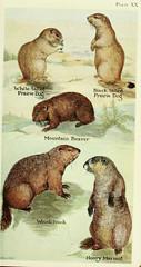 Anglų lietuvių žodynas. Žodis whistling marmot reiškia švilpimas švilpikas lietuviškai.