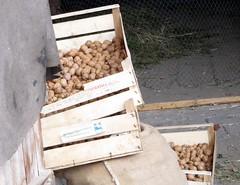 Walnüsse (happycat) Tags: fruit germany thüringen nut frucht walnuss nuss juglansregia liebstedt lkweimarerland nussfrucht echtewalnuss vgilmtalweinstrase