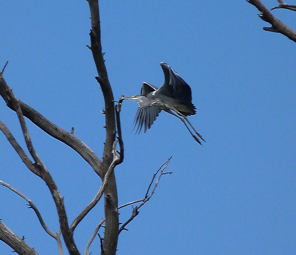 07-10-2011-grey-heron-landing