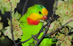 SUPERB PARROT Polytelis swainsonii (beeater) Tags: parrots australianbirds birdphotography australianparrots superbparrot polytelisswainsonii australiannativebirds colourfulbirds favoritebirds stuartharrisphotography birdsoftheactnsw birdsofcanberra birdsihaveatattooof birdsofbelconnen