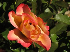 autumn rose (Eli Nixon: on a drive-about) Tags: park flowers autumn roses usa closeup colorado longmont rosegardens iso80 municipalgardens elinixon morningdrivewithgrover canons90 rooseveltparkrosegardens