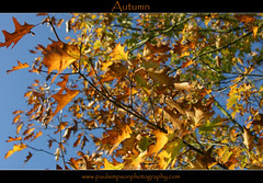 Blue and Gold (Paul Simpson Photography) Tags: autumn fall leaves automne leaf fallcolors bluesky autumncolours autumnal naturecolors goldenleaves autumne naturecolours coloursofnature colourfulnature colorfulnature october2011 photosoftrees paulsimpsonphotography ringexcellence