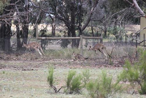 Kangaroos bouncing