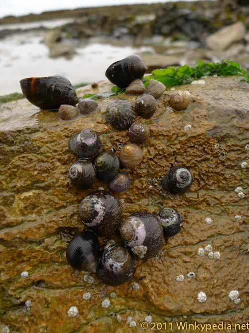 Winkles in Ireland