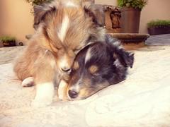 (Anne Larios) Tags: cute collie sleep babydogs