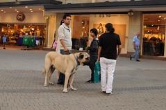 Big Dog (tian2992) Tags: street dog germany shepherd candid nuremberg streetphotography nurnberg bigdog anatolian 2011 anatolianshepherd