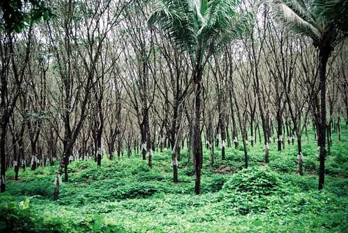 Rubber plantation in Kerala