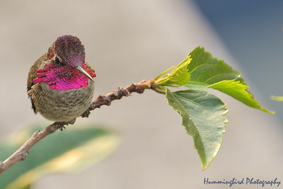 Anna's Hummingbird 091411-2