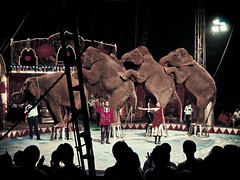 Elephant stone #1 (portable_soul) Tags: show wild elephant classic animal big crowd performance large tent trained sumatranelephant orientalcircusindonesia