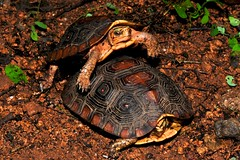 (Turtle Conservancy) Tags: mating rhinoclemmysrubidaperixantha