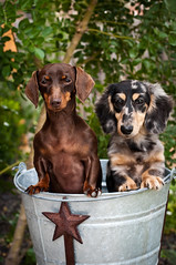 Calypso & Achilles (Heidi Knight) Tags: miniaturedachshund chocolateandtan blackandcreamdapple
