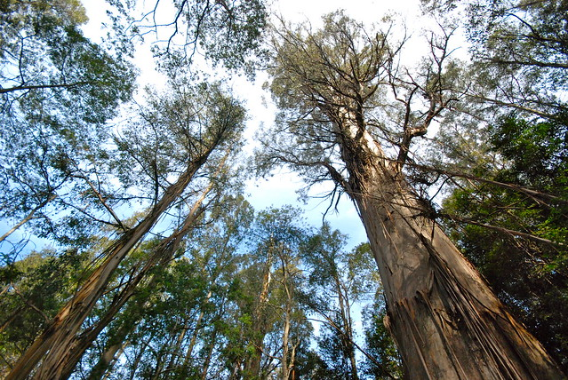 Tasmania - Southern Forest - Big Tree - 19/09/2011