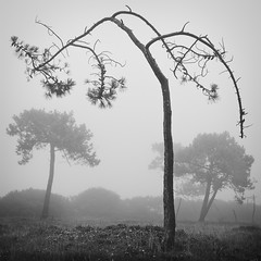 Pining (Joe Rainbow) Tags: bw mist tree pine square cornwall moody sombre bent ent