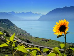 sunflower admiring the lake (mujepa) Tags: blue lake mountains alps flower fleur alpes landscape suisse geneva bleu vineyards sunflower paysage lman vignes tournesol montagnes swizerland vaud lavaux wow1 grandvaux colorphotoaward doublyniceshot doubleniceshot mygearandme mygearandmepremium artistoftheyearlevel3 artistoftheyearlevel4 rememberthatmomentlevel1 rememberthatmomentlevel2