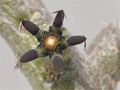 Rhytidocaulon macrolobum (frncscg) Tags: apocynaceae asclepiadaceae asclepiads rhytidocaulon