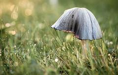 (Tor Even Mathisen) Tags: natur gress sopp høst