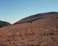 Black cow landscape (ADMurr) Tags: california cow hasselblad pasture hillside 80mm ektar