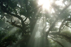 reaching for the sun (mari-we) Tags: light sun mist tree portugal fog eos fv10 faves 50 madeira sunbeam gegenlicht f50 fanal lorbeer 50faves 400d ocoteafoetens fetidlaurel mygearandme stinklorbeer
