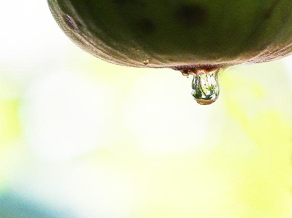 fig drop