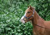 Prinsessan Salama001 (Nakelo1) Tags: horse pony welsh shire newforest clydesdale shetlandpony friesian warmblood standardbred icelandichorse norwegianfjord finnhorse