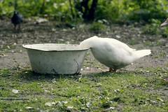 Federvieh (GZZT) Tags: berlin kreuzberg germany mb vogel ganz 030 federvieh gzzt martinbriese