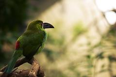 Golden Skylight - Explore (Light Echoes) Tags: summer bird philadelphia zoo nikon bravo explore aviary philadelphiazoo 2011 d90 dmk emeraldtoucanet toucanet toucanette emeraldtoucanette