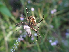 Argiope bruennichi (esta_ahi) Tags: barcelona espaa fauna spider spain araa tigre arachnida argiope peneds bruennichi argiopebruennichi araneidae ordal stabilimentum bruennichii  elpago argiopebruennichii cestera argiopebrnnichi brnnichi