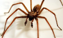 Tegenaria Domestica (Sair Jane) Tags: macro male spider scary flickr legs arachnid evil creepy canon350d arachnophobia arthropoda longlegs arachnida araneae housespider tegenaria tegenariadomestica funnelwebweaver