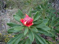 Telopea speciosissima-Waratah-DSC01921-CR (bamitc) Tags: sydney australia nsw waratah royalnationalpark audley proteaceae telopeaspeciosissima