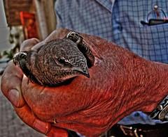 Vecchie ali (Giovanni M#) Tags: bird primavera spring time oldman mani swallow viaroma tempo fede sicilia captivity sicly anello rondine anziano rughe unghie prigionia marianopoli flickrsicilia timeispassingtime