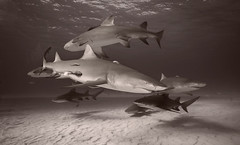 Lemon sharks at Tiger Beach (Alastair Pollock) Tags: shark nikon lemonshark 1635mm subal d700 alastairpollock