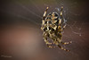 "Spider. <a style=""margin-left:10px; font-size:0.8em;"" href=""http://www.flickr.com/photos/50017678@N06/6181248203/"" target=""_blank"">@flickr</a>"
