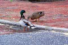 New neighboughs with a pool (Jaedde & Sis) Tags: urban nature puddle mallard thumbsup challengefactorywinner thechallengefactory pregamewinner gamesweepwinner