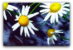 Wet and Windy Daisies ! (Orchids love rainwater) Tags: daisies garden wetandwindy