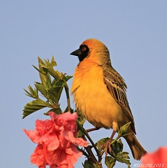 Male Southern Masked-Weaver (Ploceus velatus) (ruslou (More off than on)) Tags: nature southafrica pretoria naturesfinest southernmaskedweaver ploceusvelatus swartkeelgeelvink ruslou