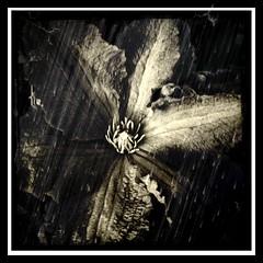 rainflower (a.c.thomas) Tags: clematis alyssthomas alyssthomasphotography
