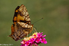 Hypanartia lethe (Fabricius, 1793)  Orange Mapwing (Costa Rica) (Eduardo Mena Foto) Tags: orange animal costarica mariposa insecto biodiversidad nymphalidae mapwing lethe hypanartia emenafoto ordenlepidoptera