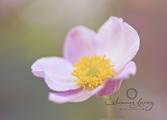 (smmr_lacey) Tags: pink flowers summer flower macro art nature floral beautiful closeup landscape japanese pretty michigan blooms anemones bloosm summerlaceyphotography