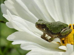 Could this be a Prince? (Connie Etter Photography) Tags: flower macro garden backyard sony indiana 100mm frog cosmo a700