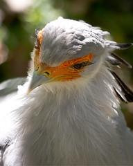Anglų lietuvių žodynas. Žodis secretary-bird reiškia n zool. sekretorius (paukštis) lietuviškai.