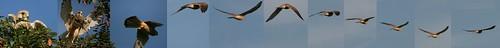 Falco tinnunculus (Turmfalke) Flugstudie