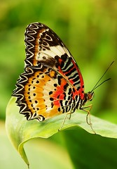 Leopard Lacewing (Cethosia cyane) (John Horstman (itchydogimages, SINOBUG)) Tags: china macro butterfly insect lepidoptera   aminus itchydogimages