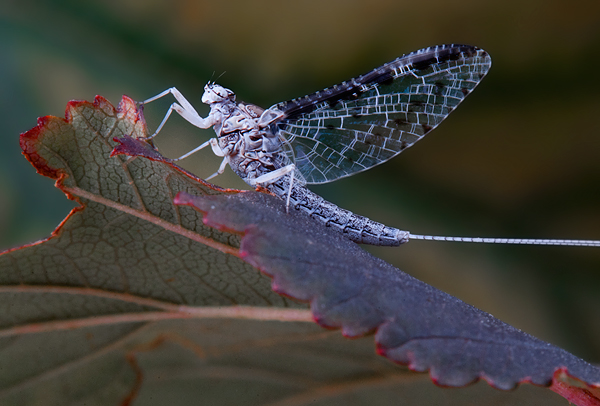 Sunrise Callibaetis Mayfly Supermacro
