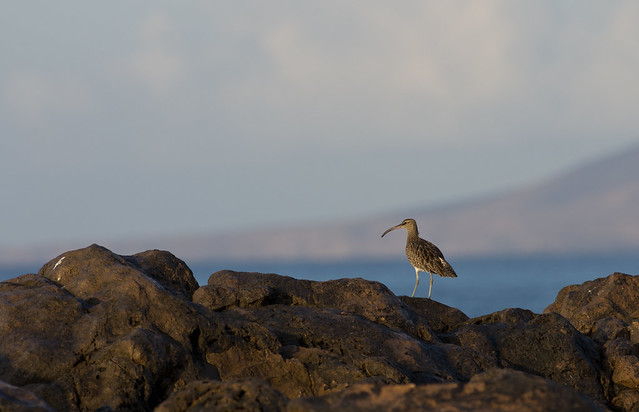 Whimbrel on rocks and view