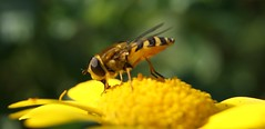 Syrphus torvus (Hover fly) (Max Danil) Tags: wild plant flower macro nature up animal closeup fauna insect fly flora close sony alpha hoverfly hover a290 syrphus ribesii