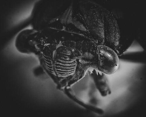 365 Day 275: Insect Portraits: Cicada by ★ 0091436 ★