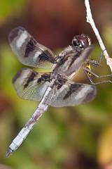 twelve spotted skimmer male (robert salinas) Tags: austin texas dragonflies dragonfly bigma sigma skimmer odonata a700 odonates