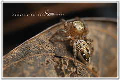 jumping spider (fiftymm99) Tags: hairy macro nature up animal insect spider big jumping eyes nikon close legs 8 round d300 fiftymm99 gettyimagessingaporeq2