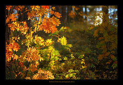 coulisse (stella-mia) Tags: autumn sunset sun fall norway forest automne dof bokeh herbst skog hamar hst 70200mm coulisse hightlight stellamia canon7d lakemjsa annakrmcke