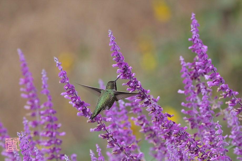 Anna's Hummingbird 100411